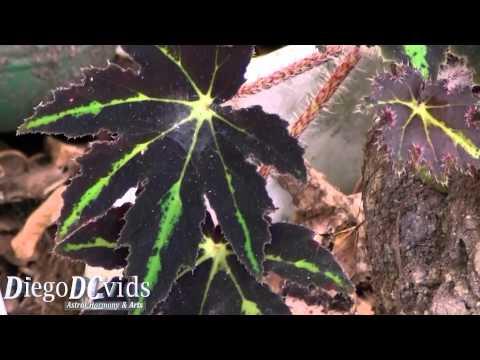 Begonia Rex (Begoniaceae) flowering plant
