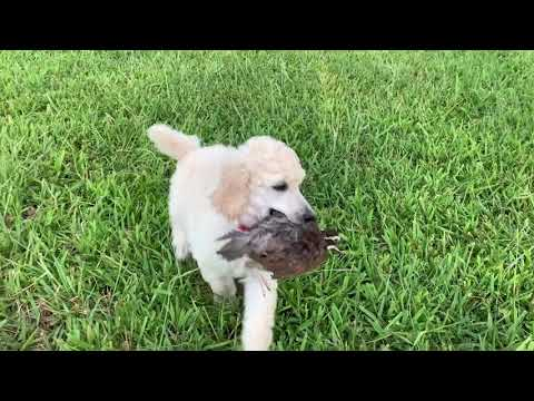 Louter Creek Hunting Poodles (pups On Quail)