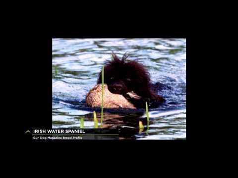 Breed Profile: Irish Water Spaniel