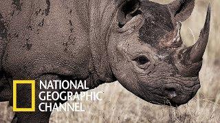 Walki zwierząt - Dzielny młody nosorożec