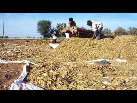 Tobacco in Gujarat .MOV