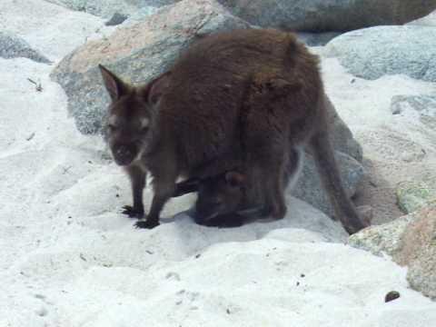 Kangaroo With Her Baby At Wineglass Bay, Tasmania