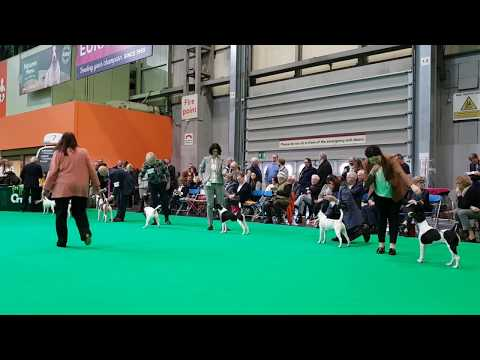 Crufts 2019, Smooth Fox Terrier - Best Dog (CC)