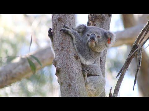 Koalarama