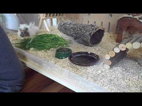 Living World Green Eco Habitat And My Guinea Pig Youtube