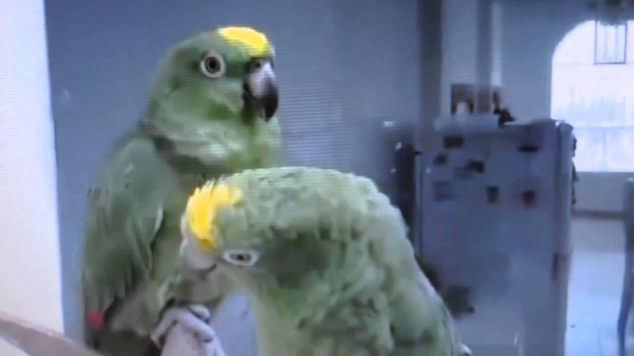 Два попугая поют дуэтом!!! Смотреть всем!!