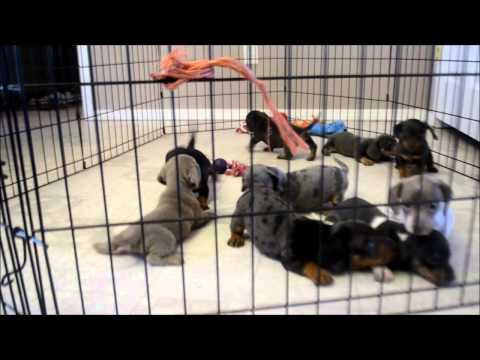 Miniature Dachshund Puppies for sale **719-306-8118**