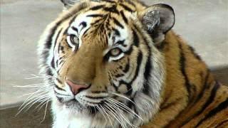 Стихи о тигре