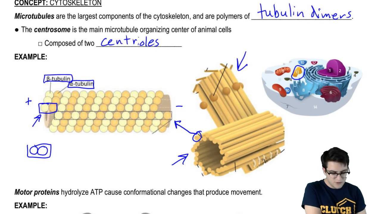 Cytoskeleton Microtubules And Motor Proteins Youtube