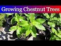 Growning Chestnut Trees from Seed