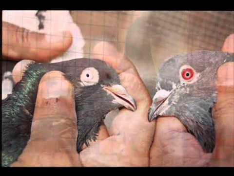 Top High Flying Pigeons-teddi Kabootar
