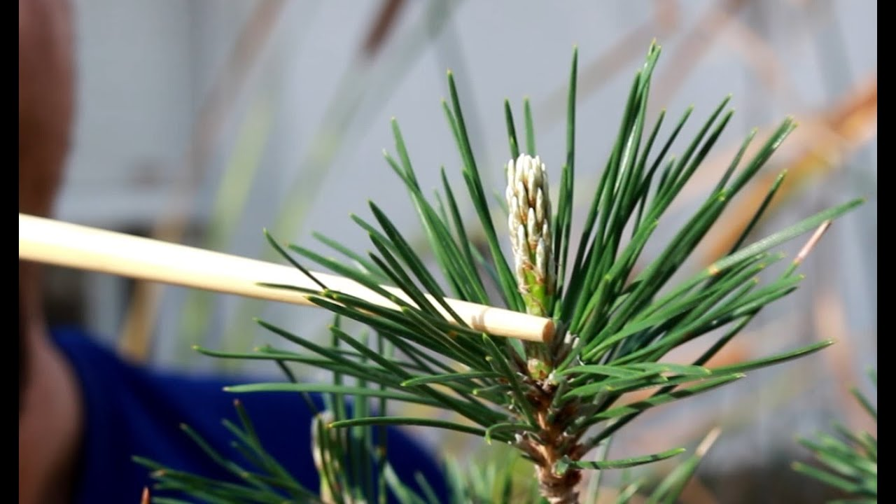 Resultado de imagen de Pinus PInea pinzado