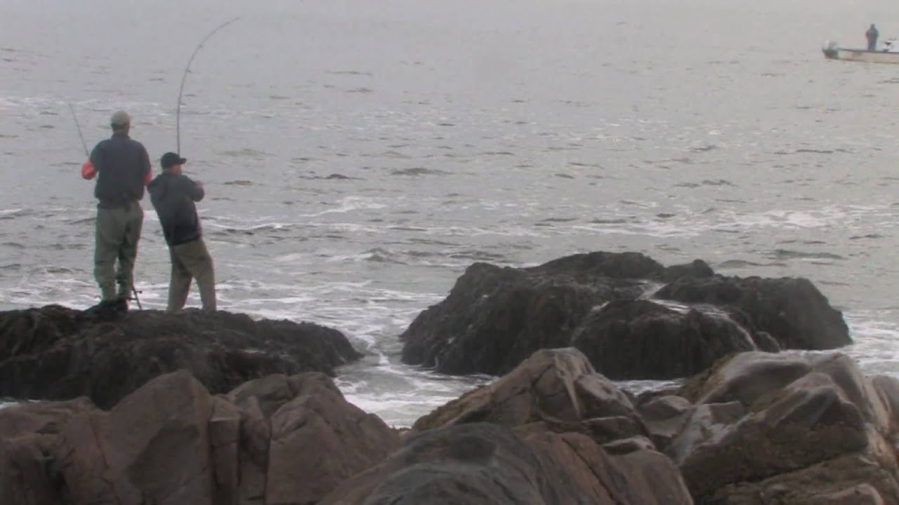42 inch fish gloucester ma striped bass fishing top water for Gloucester ma fishing