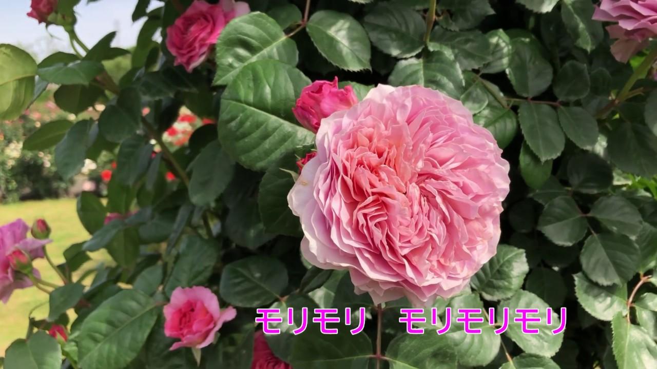 京成バラ園散策part1 ~村上敏の実況中継と共に、一緒にバラ園を散策しませんか?~(2020年5月15日撮影)