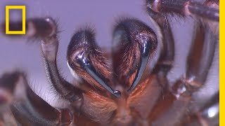 Milking This Deadly Spider Can Save Lives | National Geographic