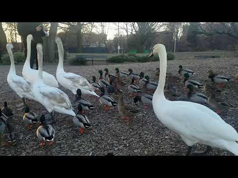 Prospect Park Lake birds 1.19.18