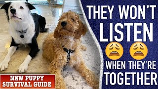 How to Train your Puppy if They Won't Listen Around the Other Dog.  New Puppy Survival Guide!