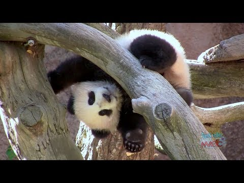 Baby panda cub Xiao Liwu 'Little Gift' plays at the San Diego Zoo