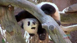 Baby panda cub Xiao Liwu