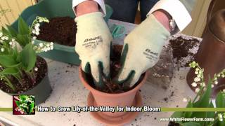 How to Grow Lily-of-the-Valley Indoors - White Flower Farm