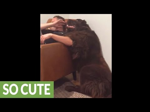 Giant Newfoundland demands attention from owner
