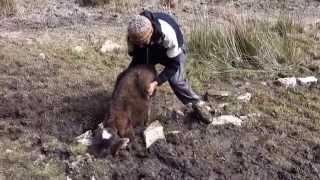 Sauvetage du petit veau