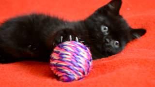 Котята для Вас! Шотландский прямоухий короткошерстный котенок черного окраса.