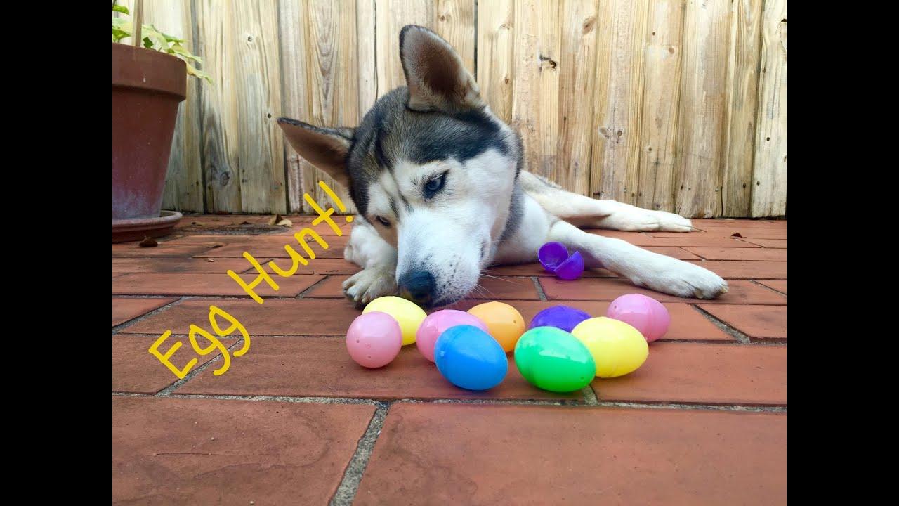 Husky Easter Outside Egg Hunt!