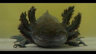 Аксолотль. Одно из самых удивительных существ на планете
