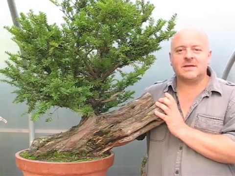 Copy of Bonsai Tree Styling - A Yew Saved From The Log Pile