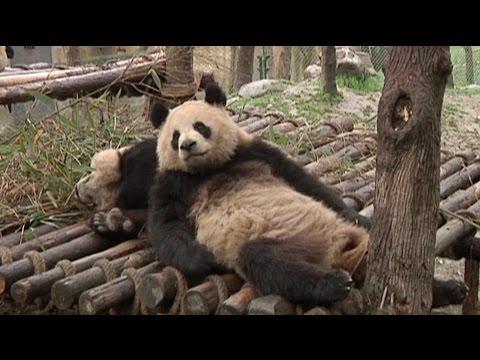 Global Panda Ambassadors Start Exciting New Job Caring for Giant Pandas