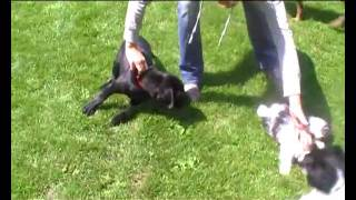 Labrador Puppy (training: Tricks And Fun)