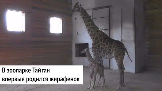 Видео малыша жирафа из крымского сафари парка