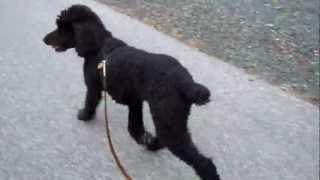 .standard Poodle Taking Walk Beside Bike (hd)