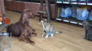 Strong is the cat rather than the Irish Setter