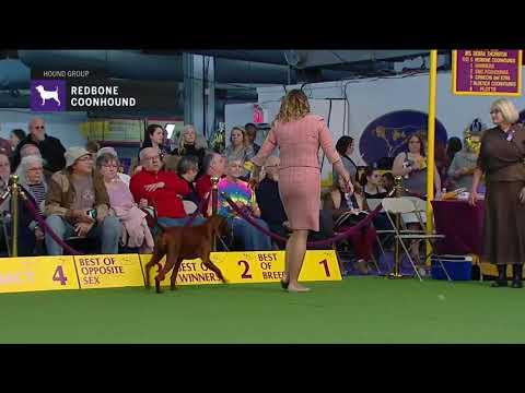 Redbone Coonhounds   Breed Judging 2019