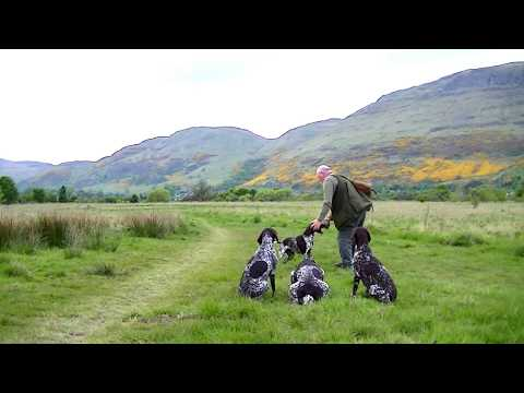 German Shorthaired Pointer puppy training