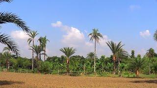Relaxing Nature Of Bangladeshi Village (single Clip)