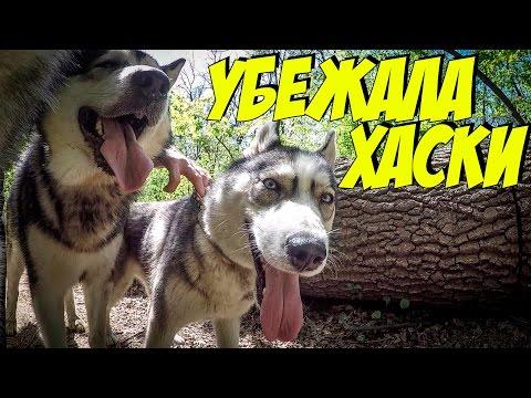 ПОТЕРЯЛИ ХАСКИ В ЛЕСУ! Свидание собак. часть 1