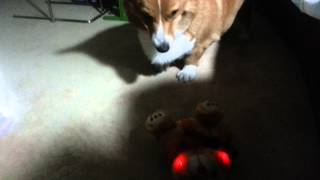Corgi Is Scared Of Stuffed Animals