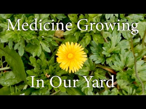 Medicine Growing Wild In Our Yard!