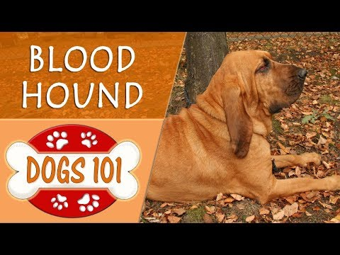 Dogs 101 - BLOOD HOUND - Top Dog Facts About the BLOOD HOUND