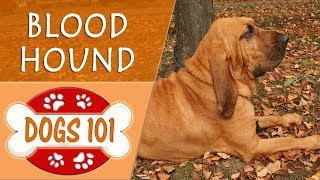 Dogs 101  BLOOD HOUND  Top Dog Facts About the BLOOD HOUND