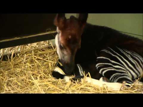 Kleine okapi met belangrijke genen geboren