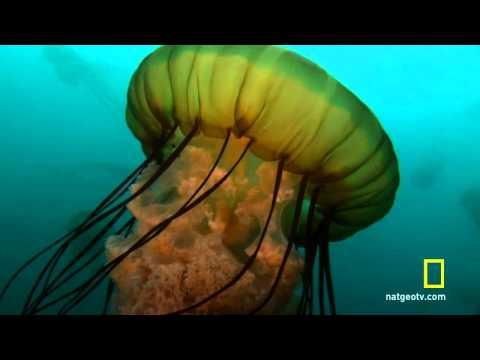 Sea Nettle Jellyfish Birth