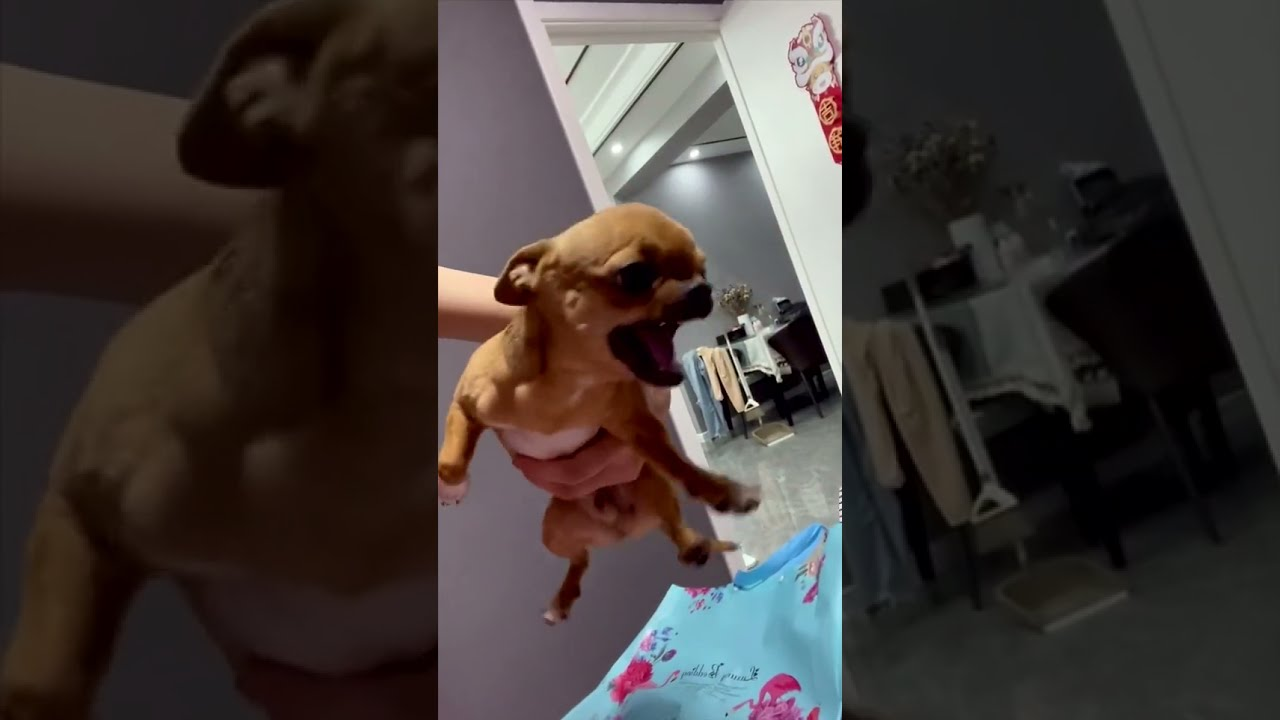 #Shorts de animales - dogs SOO Cute Just a relaxing video #61