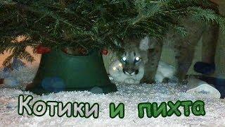 Котики и пихта