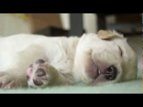 Secret Life of Dogs: Cute Labrador puppies sleeping and dreaming