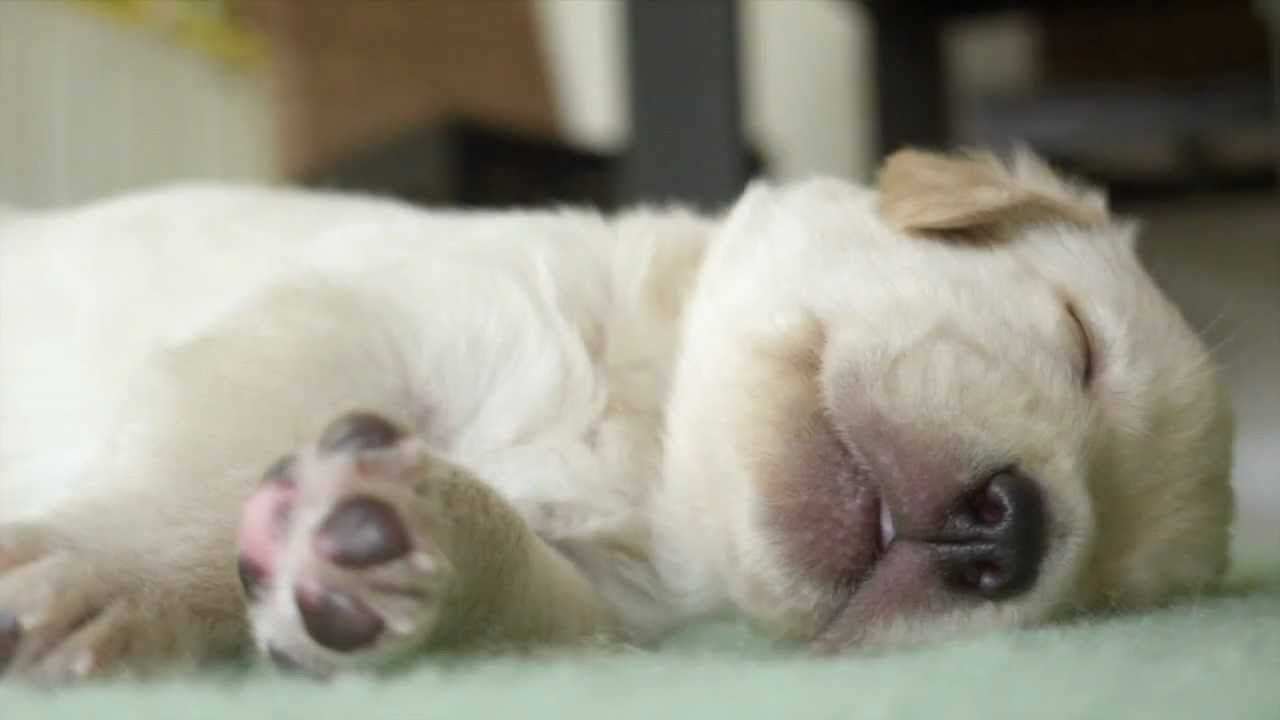 Secret Life of Dogs Cute Labrador puppies sleeping and dreaming