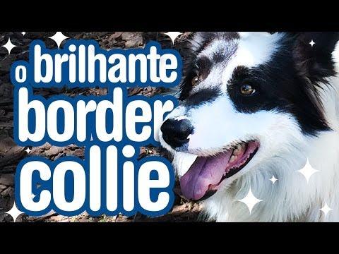 Border Collie - O cachorro mais inteligente